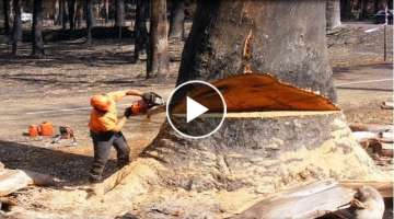 Amazing Fastest Skill Cutting Big Tree ChainSaw Machines, Heavy Biggest Felling Tree Machine work...