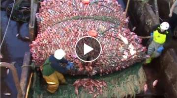 Here is The Big Catch &You Won't Believe That How Many Fishes, Amazing Fish Processing Machine