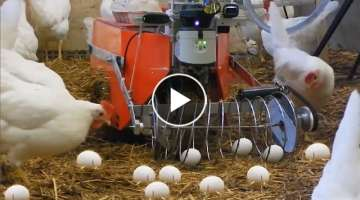 Incredible Modern Farm Chicken Egg Poultry Collecting Harvest Technology Machines Processing Fact...