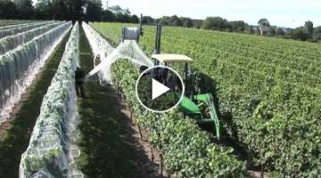 Newport Vineyards Grape Harvest